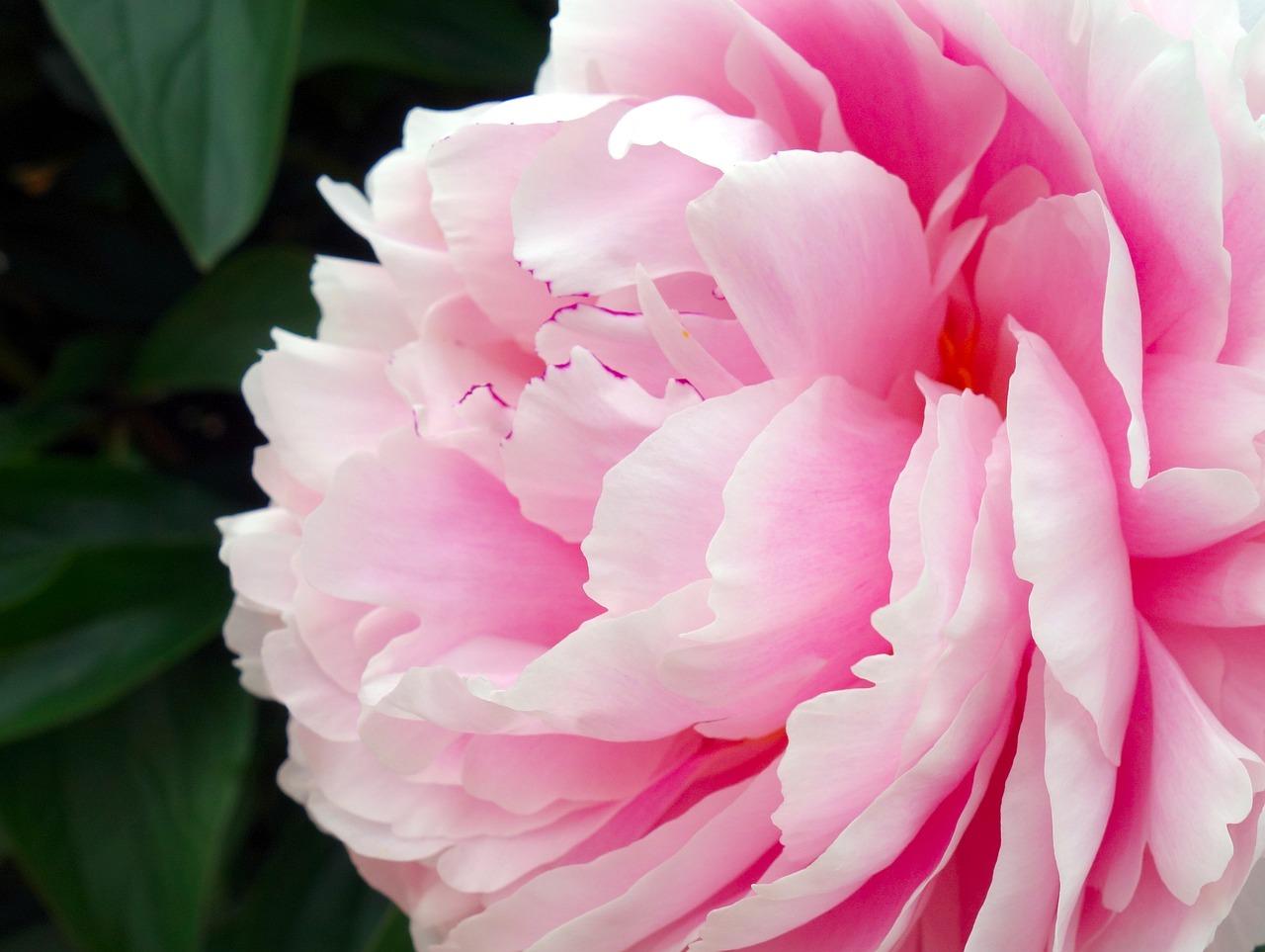 Die rosenähnliche Paeonia Sarah Bernhardt