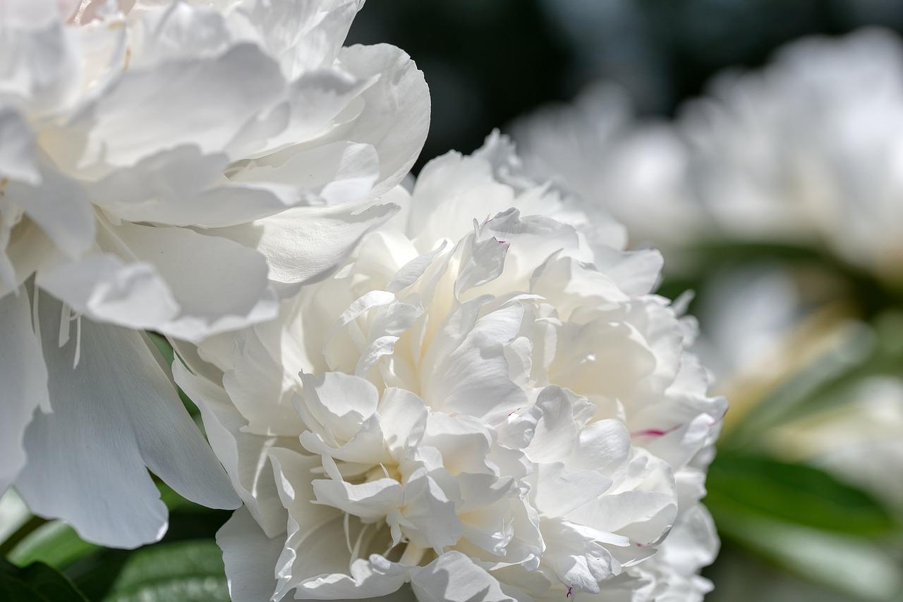 Die schneeweiße Paeonia primavera